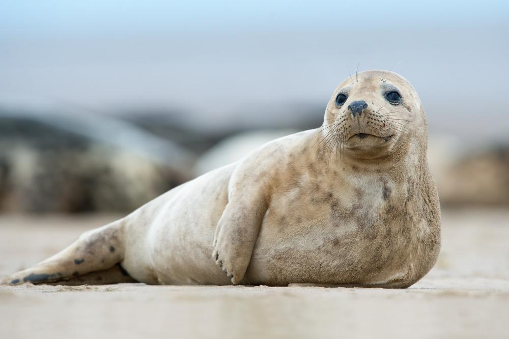 Atlantic seals living around the coast of Herm Island
