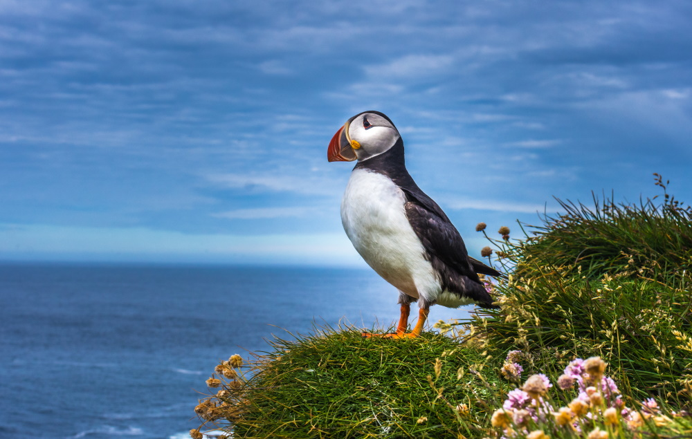 Puffins on the rocky coast of Herm, Channel Islands
