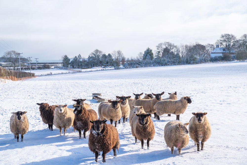 Sheep in a snow-covered field high on the Yorkshire Dales outside Leeds