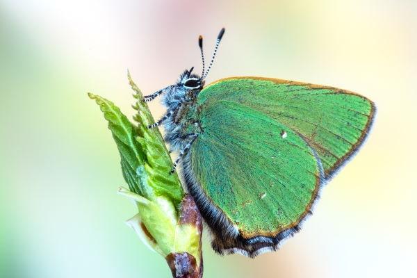 Green Hairstreak Butterfly Yorkshire min