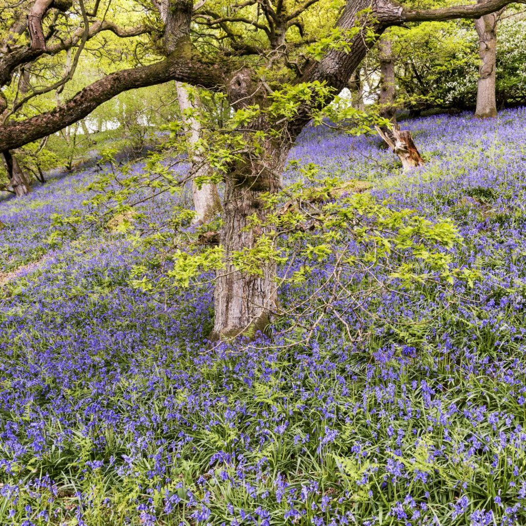 Beautiful bluebell woods at Osmotherley