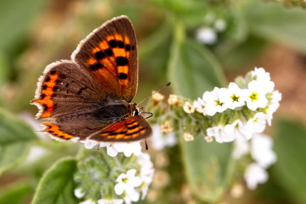 Small Copper Butterfly Yorkshire min