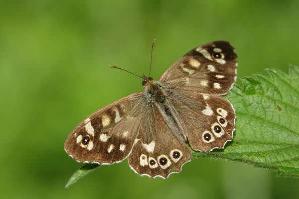 Speckled Woods Butterfly Yorkshire min
