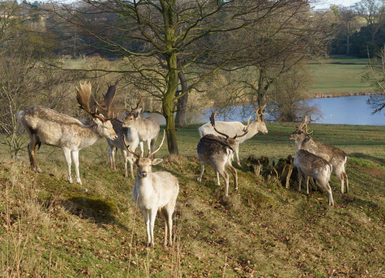 Ripley castle Deer Park